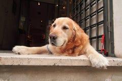 爱犬 免版税图库摄影