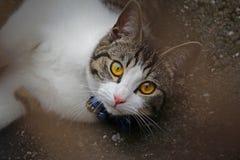 爱猫的眼睛 免版税库存图片