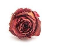 爱玫瑰色 免版税库存图片
