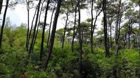 爱琴海杉木森林 影视素材