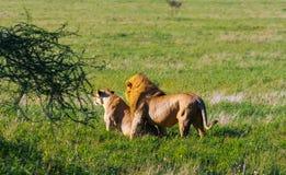 爱的预感 基于地面的狮子和雌狮 坦桑尼亚,非洲的大草原 免版税库存照片