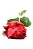 爱红色玫瑰色符号 免版税库存照片