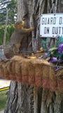 爱达荷灰鼠 免版税图库摄影
