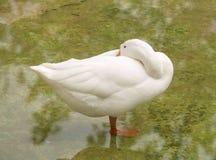 爱鸭子纯净的白色 库存图片