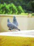 爱鸽子对夫妇  免版税库存照片