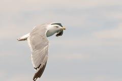爱琴海海鸥飞行悬而未决 免版税库存照片