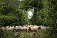 爱Tunel和绵羊囤积居奇 库存图片