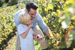 父亲和儿子品尝葡萄在葡萄园里 库存图片