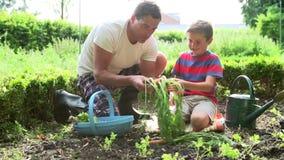 父亲和儿子在分配地段的采摘红萝卜 股票录像