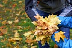父亲和儿子收集槭树叶子 免版税库存照片