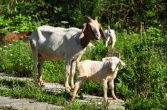 父亲山羊和小山羊 库存图片