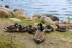 父母观看的一个小组少年加拿大鹅 免版税图库摄影