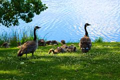 父母观看的一个小组少年加拿大鹅 免版税库存照片