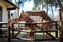 父母长颈鹿同步在动物园里 免版税库存图片