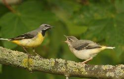 爸爸和婴孩、灰色令科之鸟& x28; Motacilla cinerea& x29; 免版税库存图片