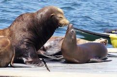 爸爸和婴孩海狮 库存图片