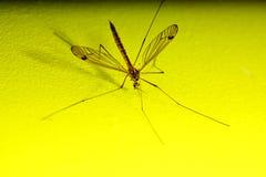 爸爸长的腿,蚊子nephrotoma scalaris 免版税库存图片