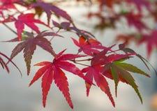 3片叶子槭树 库存图片