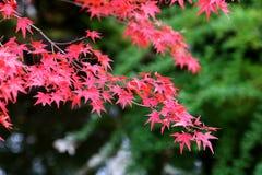 2片叶子槭树 库存图片