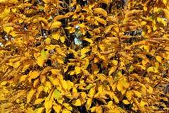2008片秋天背景叶子10月黄色 免版税库存图片