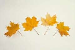 4片黄色槭树叶子 图库摄影