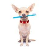 牙刷狗 免版税库存照片