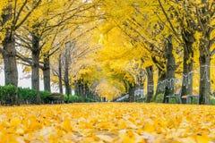 牙山,韩国- 11月9 :黄色银杏树树和游人行  库存照片