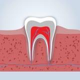 牙或牙齿例证 免版税库存照片