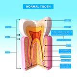 牙横剖面解剖学  免版税库存照片
