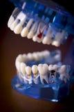 牙科学生的假牙 图库摄影