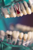 牙科学生的假牙 免版税库存图片