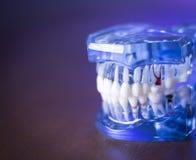牙科学生的假牙 免版税库存照片