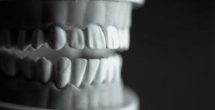 牙科学生的假牙 免版税图库摄影