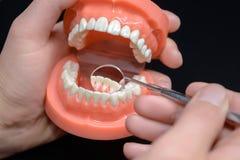 牙齿模型,与牙齿镜子的观察 库存图片