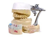 牙齿模子 库存图片