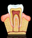 牙齿的解剖学 图库摄影
