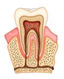 牙齿的解剖学 免版税库存照片