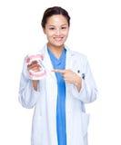 牙医牙齿保护的展示假牙 免版税库存照片