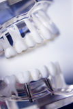 牙医牙齿牙模型 免版税库存图片