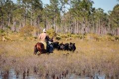 牛仔通过沼泽地成群他的牛 免版税库存图片