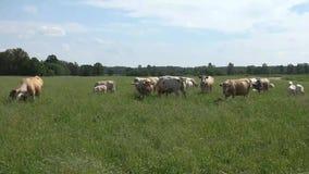 牛共同地被养作为肉的家畜 股票视频