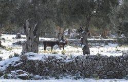 驴牛冬天平安的牧场地 库存图片