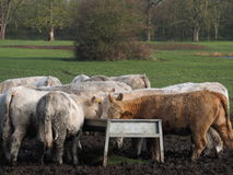 牛吃 图库摄影