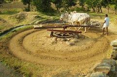 黄牛和人在印度 免版税库存图片