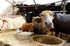 水牛和母牛小牛 库存图片
