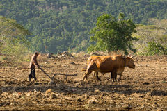 黄牛和耕犁 免版税图库摄影