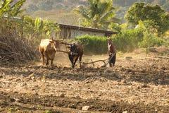 黄牛和耕犁 库存照片
