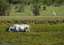 水牛和苍鹭 库存图片