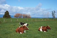 牛在农村智利 库存图片