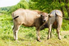 水牛在国家农场 库存照片